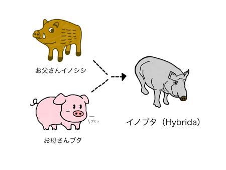 ハイブリッドはイノブタ(ラテン語でヒュブリダ)が... ハイブリッドはイノブタ(ラテン語でヒュブ